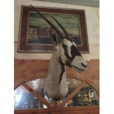 14307 Spießbock Präparat Südafrikanísche Oryx Antilope