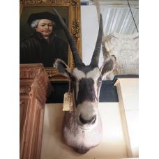14308 Spießbock Präparat Südafrikanísche Oryx Antilope