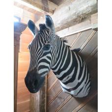 14412 Jagdtrophäe Zebra 0,85 m