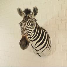 Jagdtrophäe Zebra 0,80 m