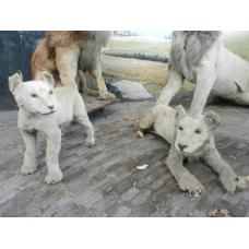 9488 Löwen Welpen ausgestopft